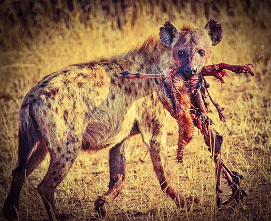 hiena con la caza en la boca