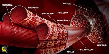 esquema de las partes de una fibra muscular: núcleo, mitocondria, sacoplasma...