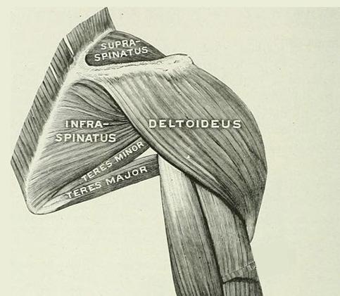 Dibujo del deltoides de la articulación del hombro