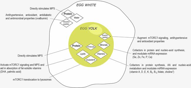 Nutrientes de la yema del huevo y de la clara