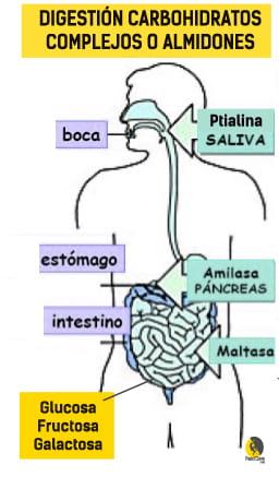 digestión de los carbohidratos complejos o almidones para producir glucosa