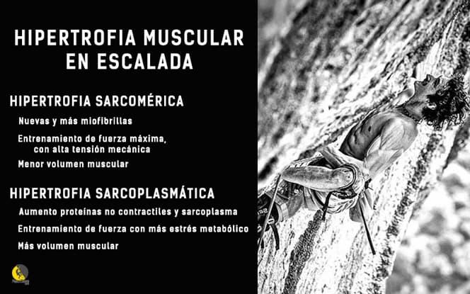 Infografía sobre hipertrofia sarcomérica y sarcoplasmática en escalada deportiva