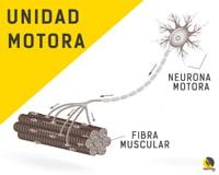 ilustración de una unidad motora y neurona motora controlando la fibra muscular