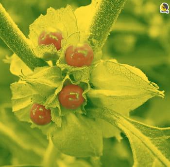 planta withania somnífera ksm-66 o aswagandha