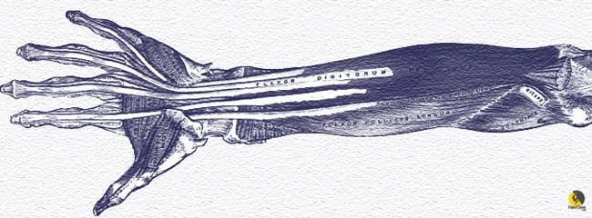 flexor digital profundo de los dedos del antebrazo de un escalador