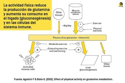 funciones de la glutamina durante la actividad física