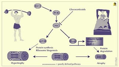 beneficios del HMB para evitar eñ catabolismo en lesiones