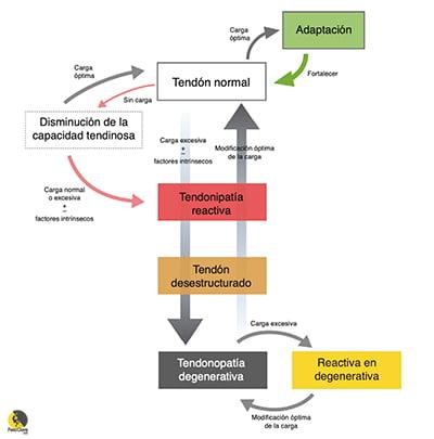 Fases del modelo continuum de Jill Cook en la tendinopatía